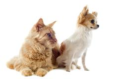 maine coon cat and chihuahua - stock photo