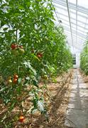 Tomatoes in a sunny greenhouse Stock Photos