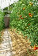 Tomatoes ripening in a greenhouse - stock photo