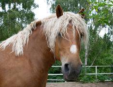 Portrait of a heavy draft horse - stock photo