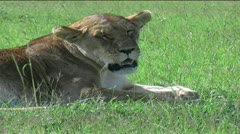 Marsh Pride of Lions Stock Footage