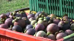 Cart With Containers Full Of Ripe Mangosteen Fruit-Tilt Stock Footage