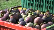 Stock Video Footage of Cart With Containers Full Of Ripe Mangosteen Fruit-Tilt