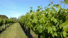 Grapevine in a winery in South West Western Australia Stock Footage