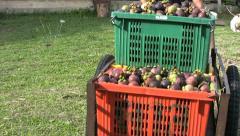Asian Farmer Wheels Cart Full Of Ripe Mangosteen Fruit Stock Footage