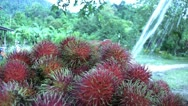 Stock Video Footage of Asian Farmer Sprays Freshly Picked Rambutan-Low Angle