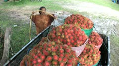 Farmer Washes Freshly Picked Rambutan In Truck-High Angle Stock Footage