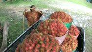Stock Video Footage of Farmer Washes Freshly Picked Rambutan In Truck-High Angle