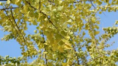 Ginko - stock footage
