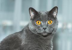 Stock Photo of the british cat