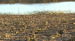 Wetland Sprouts Stock Footage