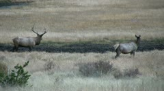Bull and Cow Elk Stock Footage