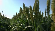 Stock Video Footage of Sorghum Field Zoom Time Lapse