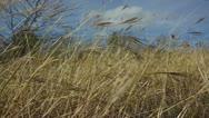Field of Wheat, Slow Motion Stock Footage