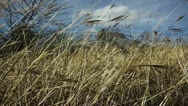Field of Wheat, Slow Motion, Color Corrected Stock Footage