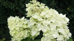 Flowering panicle hydrangea Stock Footage