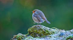 Robin is sitting on a rock - stock photo