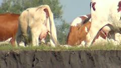 Cows graze on the precipice of the river - stock footage