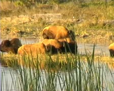 Group of Bison at watering hole. 28 sec clip. Stock Footage
