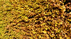 Hedge with Autumn Foliage fluttering in the wind Stock Footage