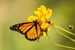 Migrating monarch butterlies in autumn Stock Photos