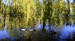 Weeping Willow & ducks (Tilt/Shift) Stock Footage