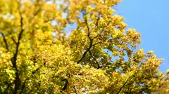 Autumn Trees in the wind (Tilt/Shift) Stock Footage
