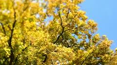 Autumn Trees in the wind (Tilt/Shift) Stock Footage
