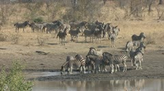 P02282 Zebra Herd Drinking at Waterhole in South Africa Stock Footage
