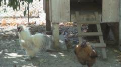 Hens, Hen Stock Footage