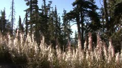 P02287 Fireweed in the Fall at Olympic National Park in Washington Stock Footage