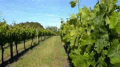 Grapevine in a Vineyard in South West Western Australia Stock Footage