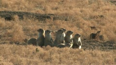 P02325 Prairie Dog Family Filmed at Wind Cave National Park Stock Footage