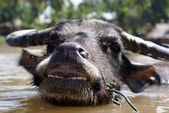 Stock Photo of cow