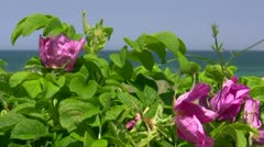 Beautiful Wild Rose on the Beach - Baltic Sea, Northern Germany Stock Footage