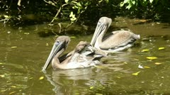Brown Pelicans Stock Footage