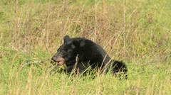 Black bear feeding Stock Footage