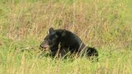 Black bear feeding Stock Footage