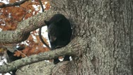 Wild black bear cub in a tree Stock Footage