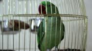 Stock Video Footage of Green parrot
