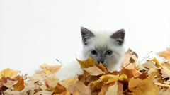 Cute kitten playing in leaves Stock Footage