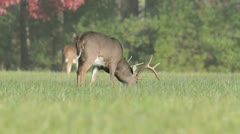 White-tailed deer buck in a meadow - stock footage