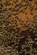 honeycomb with honey and bees - stock photo