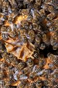 Honeycomb with honey and bees Stock Photos