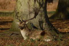 Fallow Deer with Jackdaw in mutual relationship Stock Photos