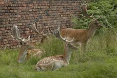 Fallow Deer Buck Group - stock photo