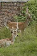 Fallow Deer Bucks Stock Photos