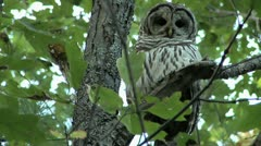 Barred Owl in Oak Tree_1 - stock footage