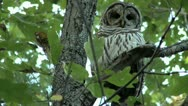 Stock Video Footage of Barred Owl in Oak Tree_1