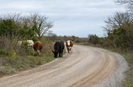 Cattle grazing at road side Stock Photos